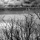Black and White Frozen Branches by John Davenport