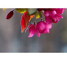 Hanging Pink Blossoms At Victoria College Photographic Print