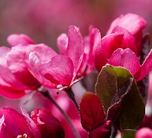 Intense Pink Blossoms At Victoria College by Gary Chapple