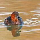 Little Grebe by FranWalding