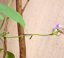 Hyacinth bean flowers by Anudeep Nethi