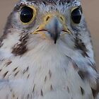 Prairie Falcon (tercel) by Robbie Knight