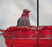 Male Anna's Hummingbird---Who was Anna? by GreyFeather