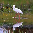 African Spoonbill by croust