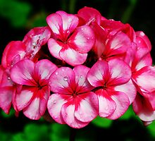 Pink Geraniums by Susie Peek