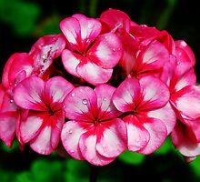 Pink Geraniums by Susie Peek