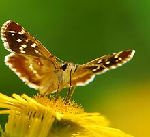 skipper with daisy by davvi