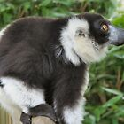 Black and white Lemur by Laura Redmond