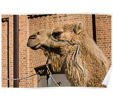 Camel In Suburbia Poster