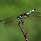 Dragonfly Summer ~ by Renee Blake