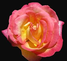 Sunlit 'Sugar Pink' Rose on Black Background by BlueMoonRose