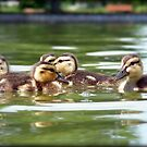 Ducklings Point Of View by jodi payne