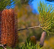Australian Gold-and-red Styles Lantern Banksia by Svetlana Day
