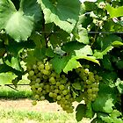 Green Grapes On the Vine    ^ by ctheworld