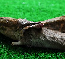 Boa Constrictor eating a rat  by thermosoflask