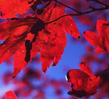 Acer by shadedfaces