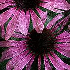 Coneflower by artsandherbs