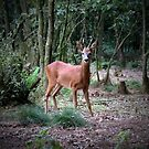 Roe deer staring by Peter Wiggerman