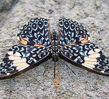 Blue Cracker - Hamadryas amphinome by Lepidoptera