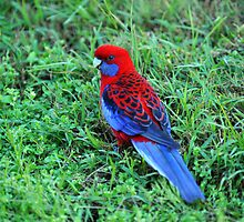 Crimson Rosella. Cedar Creek, Queensland, Australia. (2) by Ralph de Zilva