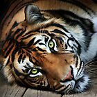 Sumatran Tiger by Matthew Bates