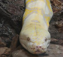 """White Boaconstrictor""  by Carter L. Shepard by echoesofheaven"