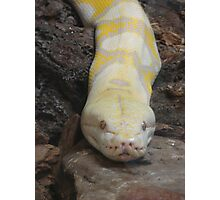 """""""White Boaconstrictor""""  by Carter L. Shepard Photographic Print"""