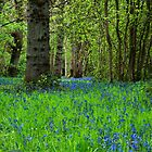Bluebell Wood by Margaret Chilinski