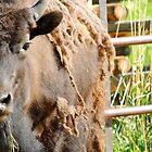 Vikki the Buffalo by Rachel Meyer