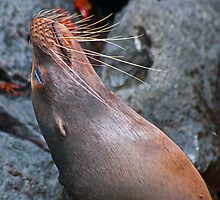 Sea Lions10 by bulljup