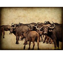 IN ABUNDANCE -  The Buffalo - Syncerus caffer  Photographic Print