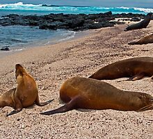 Sea Lions14 by bulljup