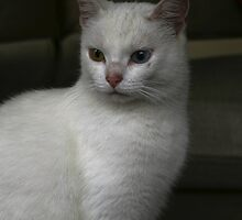 Witje adorable white cat by patjila