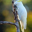 Sulphur Crested Cockatoo. Cedar Creek, Australia. (2) by Ralph de Zilva