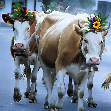 Gethering the cows in Canton Bern - Swiss by RAN Yaari