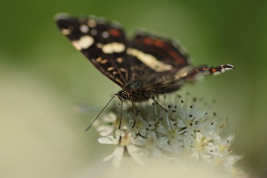 Brown butterfly by Bert van der Veen