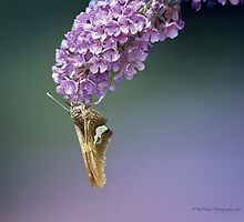 Silver-spotted Skipper by KatMagic Photography