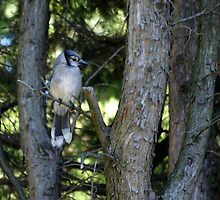 The Elusive Bluejay by Barry W  King