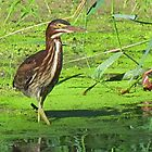 The Green Heron by lorilee