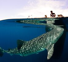 The Whalesharks of Indonesia by Steve Jones