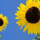 sunflowers against a blue sky by guido nardacci