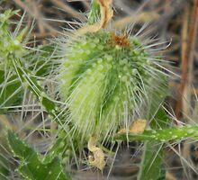Bull Nettle Nettles by Navigator