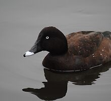 Reflection of Hardhead Duck (Aythya australis) #2 - Mill Park, Victoria by Heather Samsa