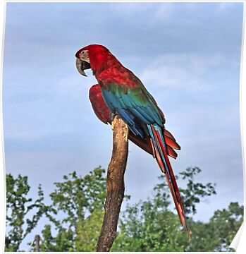 Red MaCaw by RickDavis