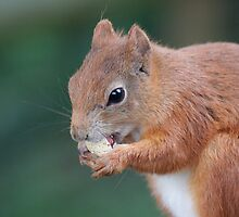 Red Squirrel by Gill Langridge