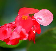 Begonia by Larry Baker