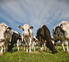 Cows by David Purkiss