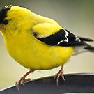 (Male) Goldfinch by KAREN SCHMIDT