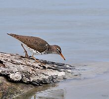 Spotted Sandpiper by Nancy Barrett