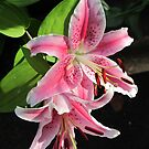 Pink Twin Lilies by Pat Yager